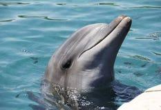 在礁石的宽吻海豚在埃拉特,以色列 免版税库存图片