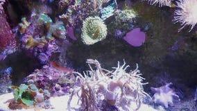 在礁石的底部的大海虾移动 股票录像