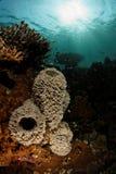 在礁石的海绵在Ras Korali 图库摄影