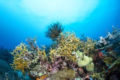 在礁石的火珊瑚 免版税图库摄影