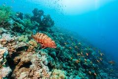 在礁石的珊瑚石斑鱼 免版税库存图片