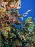 在礁石的珊瑚蓑鱼 库存图片