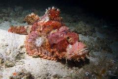 在礁石的石头鲈 库存图片
