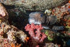 在礁石的箱子河豚 免版税库存照片