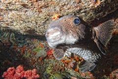 在礁石的箱子河豚 库存图片