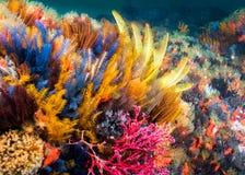 在礁石的羽毛海星 免版税库存照片