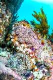 在礁石的聚集海葵床 免版税库存图片