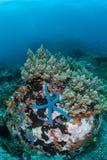 在礁石的蓝色海星 库存照片