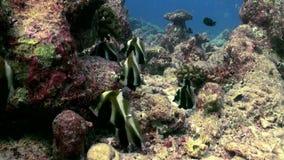 在礁石的蝴蝶鱼在寻找食物的黄昏 股票视频