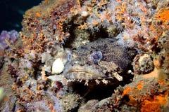 在礁石的蟾鱼 免版税库存照片