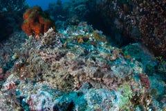 在礁石的被伪装的Crocodilefish在印度尼西亚 库存照片