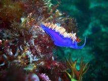 在礁石的西班牙披肩Nudibranch 图库摄影