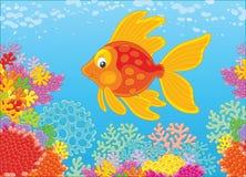 在礁石的金鱼 免版税库存照片