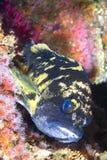 在礁石的铜石鱼 免版税图库摄影