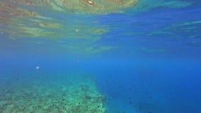 在礁石的雀鲷 股票视频