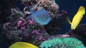 在礁石的鱼黄色特性 股票视频