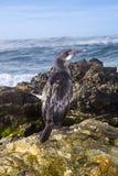 在礁石的鸬鹚鸟 库存图片