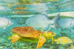 在礁石的水下的世界在Caye填缝隙工附近在伯利兹 免版税库存图片