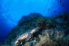 在礁石的绿浪乌龟 库存图片