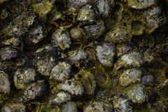 在礁石的贝类 库存照片