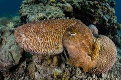 在礁石的Broadclub乌贼在印度尼西亚 库存照片