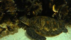 在礁石附近的一只乌龟 股票录像