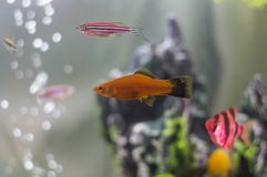 在礁石附近的Acarium鱼 图库摄影