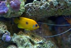 在礁石水族馆的柠檬皮神仙鱼 库存照片