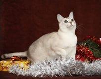 在礼物前面的好的圣诞节Burmilla 免版税库存照片