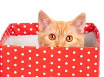 在礼物盒的小猫 免版税图库摄影