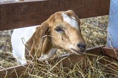 在禁闭的小山羊 免版税库存照片
