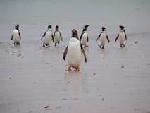 在福克兰的Gentoo企鹅 免版税库存图片