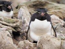 在福克兰的Rockhopper企鹅 库存图片