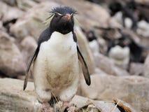 在福克兰的Rockhopper企鹅 库存照片