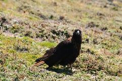 在福克兰群岛的条纹的长腿兀鹰 库存照片