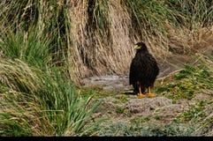 在福克兰群岛的条纹的长腿兀鹰 免版税库存图片
