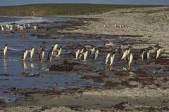 在福克兰群岛的Gentoo企鹅 库存图片