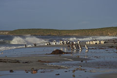 在福克兰群岛的Gentoo企鹅 库存照片
