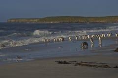 在福克兰群岛的Gentoo企鹅 免版税库存照片