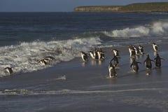 在福克兰群岛的Gentoo企鹅 图库摄影