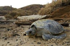 在离开的海滩的和平的绿浪乌龟 免版税库存图片