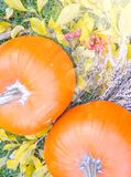 在秀丽明亮的秋季自然背景的橙色南瓜 免版税库存照片