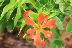 在秀丽-野花背景-钩的火百合 免版税库存图片