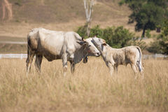 在秃头山或草山的母牛在Ranong省 免版税库存照片