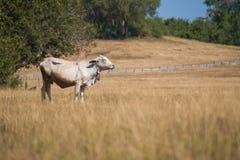 在秃头山或草山的母牛在Ranong省 免版税图库摄影