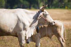 在秃头山或草山的母牛在Ranong省 库存图片