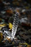在秋叶床上的羽毛  免版税库存照片