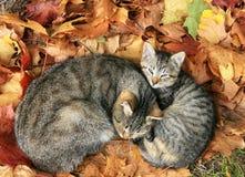 在秋叶的两只猫 免版税库存图片