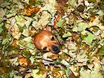 在秋叶的奇瓦瓦狗狗 库存照片