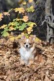在秋叶的奇瓦瓦狗 库存图片